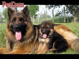 فروش انواع سگ هاي ژرمن  (نگهبان وفادار)