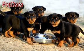 فروش سگ  روتوايلر اصيل