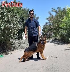 سگ گارد و نگهبان ،ژرمن شپرد،روتوايلر و نژادهاي ديگر