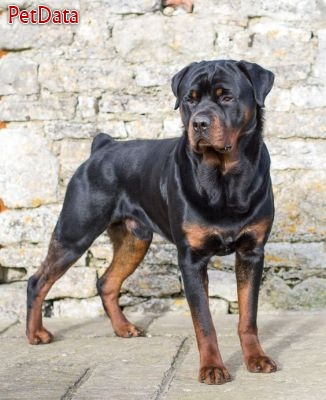 فروش سگ نگهبان روتوايلر