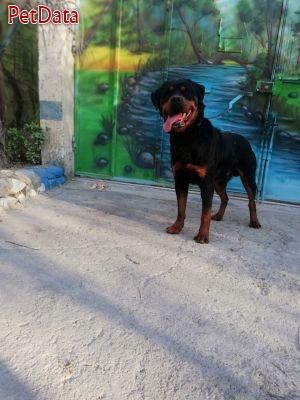 ژرمن سگ محافظ خانواده