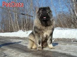 فروش سگ قفقازي اصيل