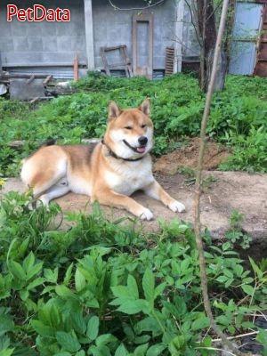 سگ نگهبان و محافظ آکيتا ژاپني