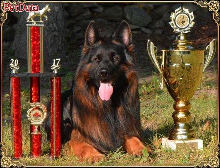 ژرمن شپرد هاي نگهبان سگ ارتش جهان و سگ امدادي
