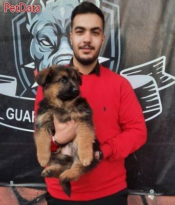 سگ ژرمن شپرد سومين سگ جهان از نظر هوشي