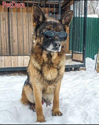 توله سگ نگهبان ژرمن شپهرد شيانلو