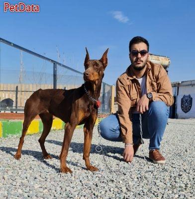 همراه و رفيق سگ دوبرمن