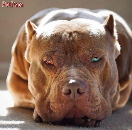 فروش سگ پيت بول بالغ و مولد