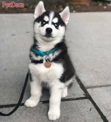 توله هاسکي سگي زيبا با چشماني رنگين