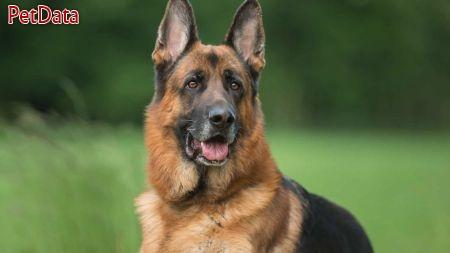 سگ ژرمن شپرد فروش توله ي ژرمن حرفه اي