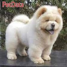 فروش سگ چاو چاو زيبا و اصيل