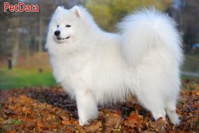 فروش سگ ساموييد اصيل و وارداتي