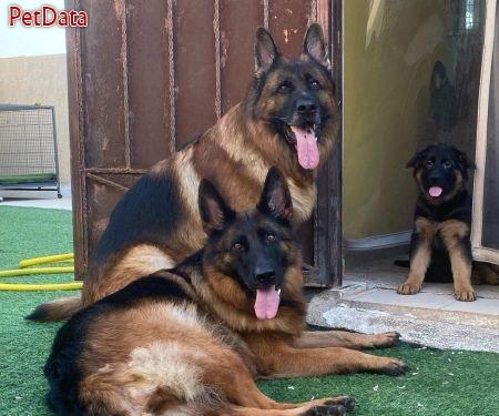 فروش سگ ژرمن شپرد توله و بالغ