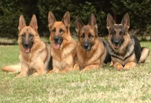 معرفی سگ نگهبان و سگ گارد