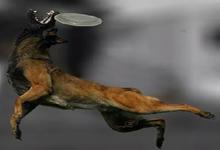 معرفی نژاد سگ بلژین مالینویر