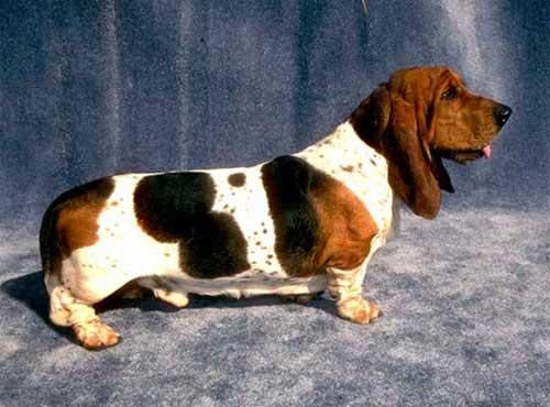 نژاد  سگ  باست هاند