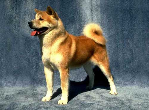 نژاد  سگ آکیتا
