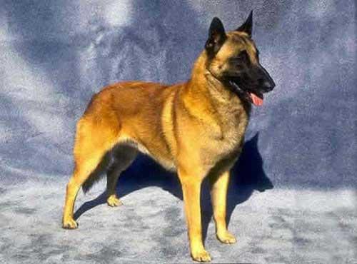 نژاد  سگ بلژین مالینوبر