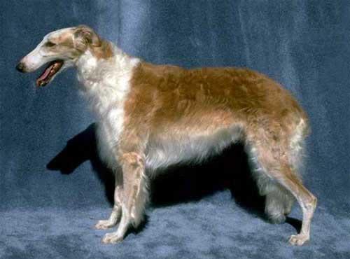 نژاد سگ  برزی