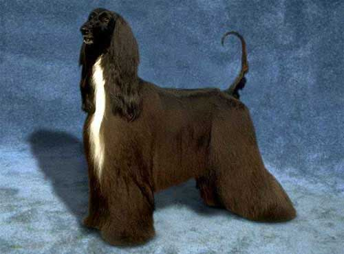 نژاد  سگ تازی افغان
