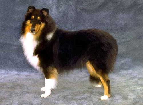 نژاد  سگ  راف کولی