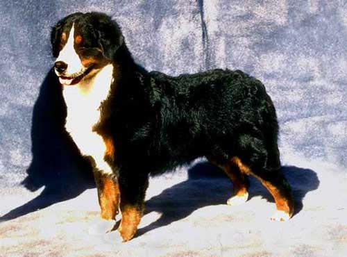 نژاد  سگ برنس ما لتن داگ
