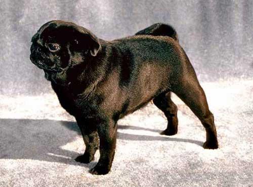 نژاد سگ پا گ