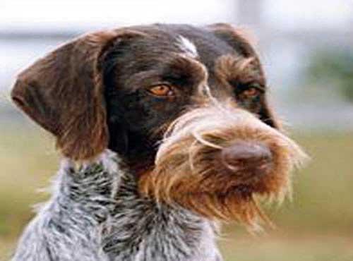 نژاد  سگ پوینتر المانی
