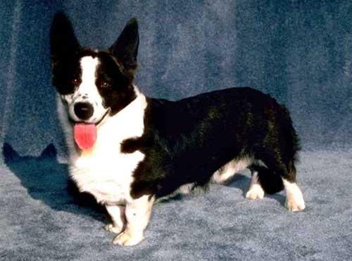 نژاد  سگ  کاردیگن ولش کرگی