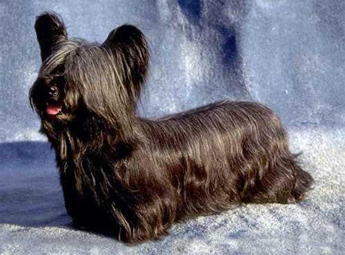 نژاد سگ  اسکی تریر