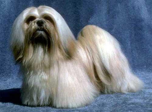 نژاد  سگ لها سا آپسو