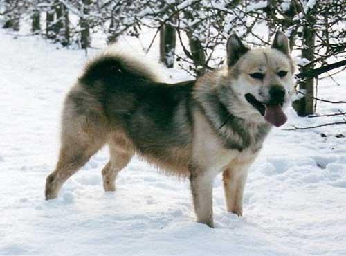 نژاد  سگ گرین لند داگ