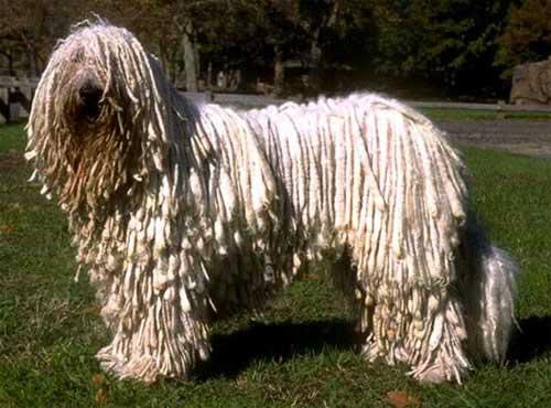 نژاد  سگ کمندر