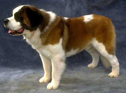 نژاد  سگ سنت برنادر