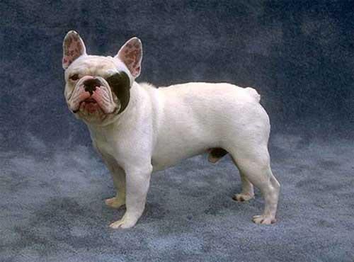 نژاد  سگ فرنچ بولداگ