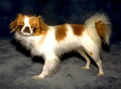 نژاد  سگ جاپانیز چین