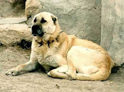 نژاد  سگ سراب