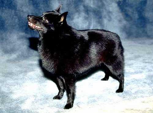 <a title='نژاد سگ اسچبیرکی' href='http://www.google.com/search?q=site%3Awww.petdata.ir+نژاد سگ اسچبیرکی' ><strong style='color:blue'>نژاد سگ اسچبیرکی</strong></a>