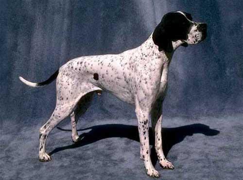 نژاد  سگ پوینتر