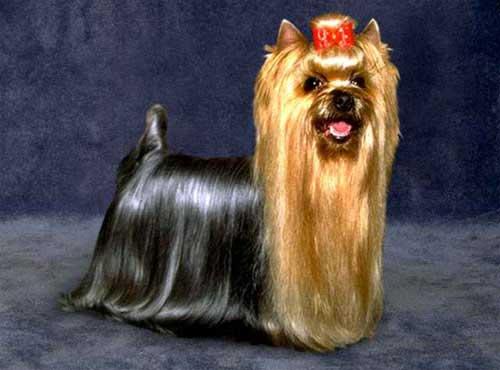 نژاد  سگ یورکشایر تریر