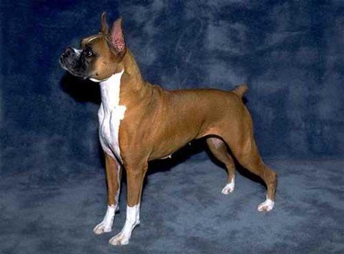 نژاد  سگ  باکسر