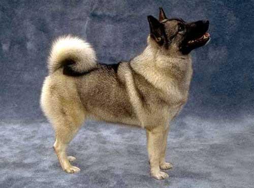 نژاد سگ   الکها ند نروزی