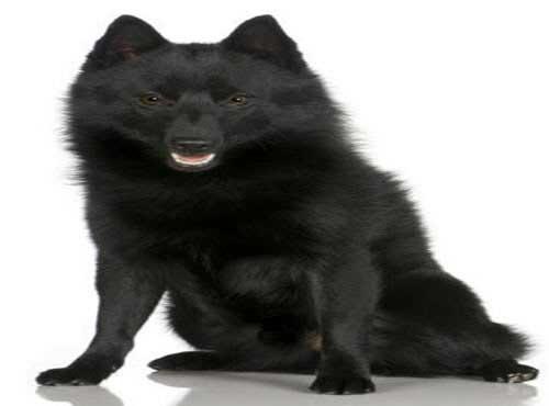 نژاد  سگ شیپرک