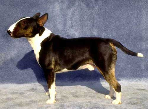 نژاد  سگ بول تریر