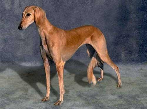 نژاد  سگ سالوکی