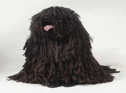نژاد  سگ پولی