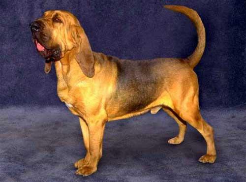 نژاد سگ  بلاد هاند