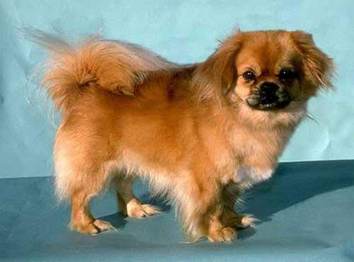 نژاد  سگ  تیبتن اسپانیل