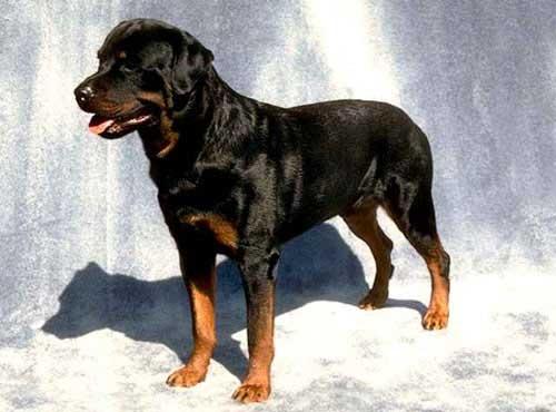 نژاد  سگ  رتوایلر