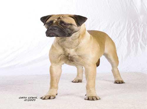 نژاد  سگ  بول ماستیف